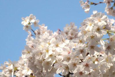 春うらら(ヒロサワ)